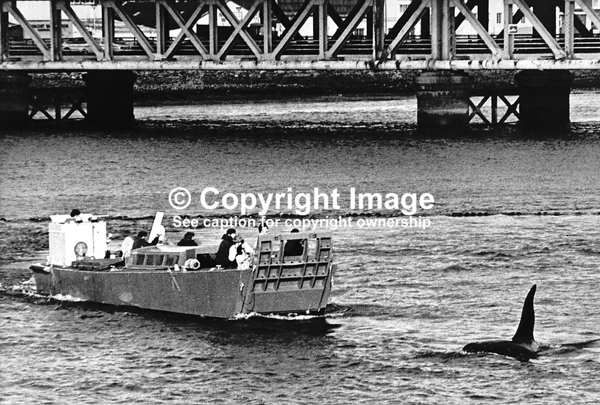 British Army landing craft with Foyle Fisheries Commission personnel on board make an unsuccessful attempt on this occasion to herd an ailing killer whale under the Craigavon Bridge in Londonderry and back up Lough Foyle towards the open sea. It is believed the whale entered Lough Foyle, and ultimately the River Foyle, in pursuit of a late run of salmon. It did eventually find its way out to the open sea but not before providing local period with days of amusement, light relief from the Troubles which were at their height at the time. The whale was nicknamed Dopey Dick because of his initial inability to find his way back to the sea. 1977111001a..Copyright Image from Victor Patterson, 54 Dorchester Park, Belfast, United Kingdom, UK...For my Terms and Conditions of Use go to http://www.victorpatterson.com/Victor_Patterson/Terms_%26_Conditions.html