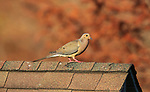 A mourning dove perched on an outbuilding.