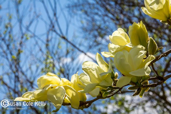 Magnolia blossoms at the Arnold Arboretum in the Jamaica Plain neighborhood, Boston, Massachusetts, USA
