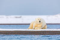 Male polar bear rests on the gravel shore of a barrier Island in the Arctic National Wildlife Refuge, Beaufort Sea, Arctic, Alaska.