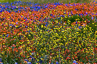 Wild Flowers near Chappel Hill, TX - 2014.