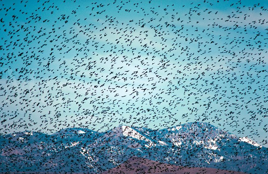 Blackbirds fill the sky.