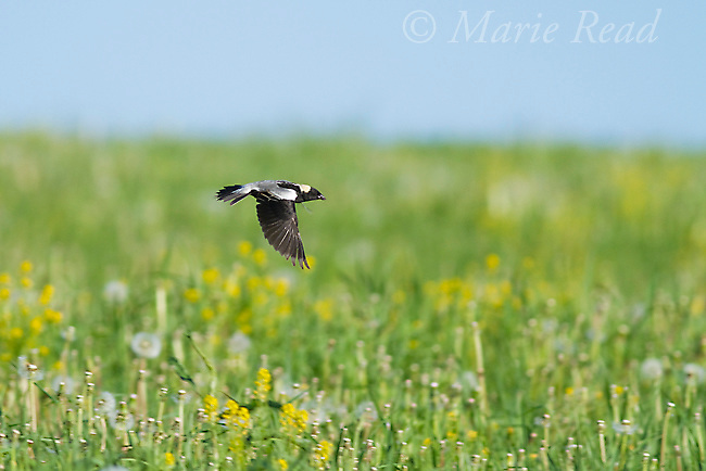 Bobolink (Dolichonyx oryzivorus ) male in flight over its meadow territory, New York, USA
