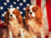 Portrait of two King Charles Cavalier Spaniels posed against an American flag.