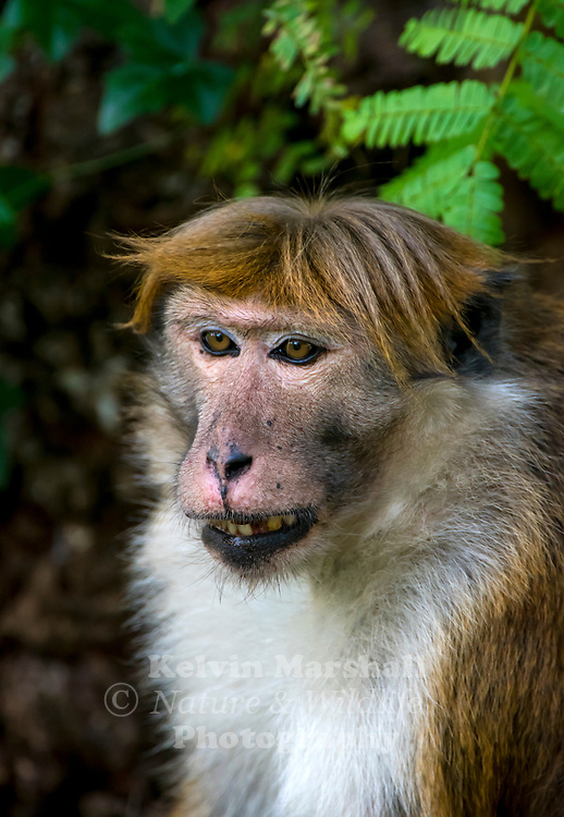 """Toque macaque (Macaca sinica) is a reddish-brown-coloured Old World monkey endemic to Sri Lanka, where it is locally known as the rilewa or rilawa (Sinhala රිළවා), (hence """"rillow"""" in the Oxford English Dictionary). It is named for the toque-shaped whorl of hair on its head, rather like the bonnet of the related bonnet macaque. Habarana - Sri Lanka."""