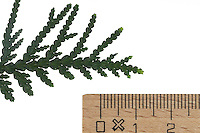 Abendländischer Lebensbaum, Abendländische Thuja, Gewöhnliche Thuja, Thuja occidentalis, Arborvitae, northern white-cedar, eastern arborvitae, Le Thuya occidental