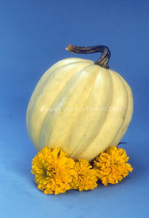 Winter acorn squash Cream of the Crop with yellow marigolds, picked, set against blue background, cutout, vegetables and flowers
