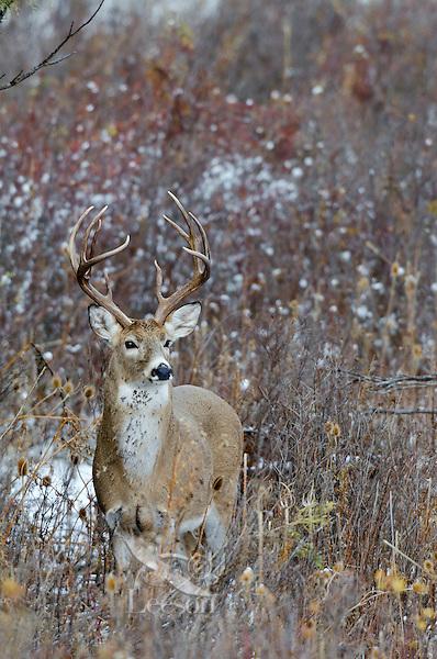 White-tailed Deer buck (Odocoileus virginianus), Western U.S., Late Fall.