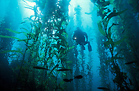ld10162-D. scuba diver (model released) swims through forest of Giant Kelp (Macrocystis pyrifera). California, USA, Pacific Ocean..Photo Copyright © Brandon Cole. All rights reserved worldwide.  www.brandoncole.com..This photo is NOT free. It is NOT in the public domain. This photo is a Copyrighted Work, registered with the US Copyright Office. .Rights to reproduction of photograph granted only upon payment in full of agreed upon licensing fee. Any use of this photo prior to such payment is an infringement of copyright and punishable by fines up to  $150,000 USD...Brandon Cole.MARINE PHOTOGRAPHY.http://www.brandoncole.com.email: brandoncole@msn.com.4917 N. Boeing Rd..Spokane Valley, WA  99206  USA.tel: 509-535-3489