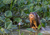In the Pantanal we had several opportunities to photograph giant river otters.