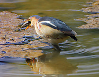 Adult male least bittern swallowing fish