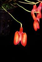 Masdevallia deformis orchid species