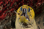 Fimbriated moray eel(Gymnothorax fimbriatus) with a cleaner shrimp