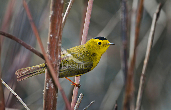 Wilson's Warbler (Wilsonia pusilla) male  along Lake Erie shoreline near Canada and USA border during annual spring migration northward to summer breeding grounds. Some 54% of the North American population of this warbler nests in the Boreal Forest of Canada and Alaska.