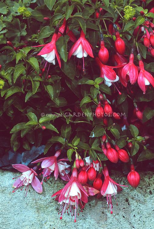 Fuchsia 'Lady Thumb' (Dwarf fuchsia)