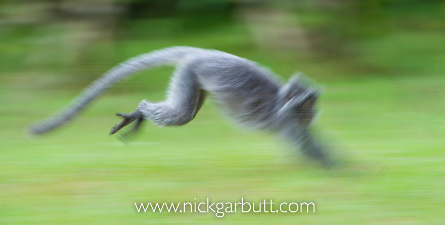 Silvered Langur or Silver Leaf Monkey (Presbytis cristata) running across open ground. Bako National Park, Sarawak, Borneo.