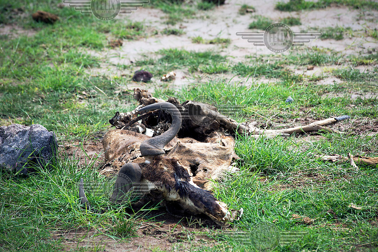 A gnu carcass lies in Amboseli National Park. The gnu probably died before the rains arrived ending a long spell of drought in Kenya.