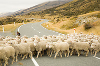 Herd of sheep crossing rural New Zealand road