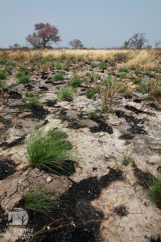 New growth in the Kalahari after a gentle bush fire