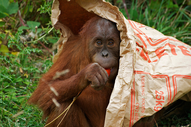 Wildlife photography, orang-utan