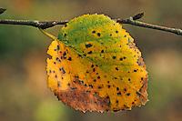 Moor-Birke, Blatt, Herbstlaub, Moorbirke, Haar-Birke, Besen-Birke, Behaarte Birke, Betula pubescens, syn. Betula alba, downy birch, moor birch, white birch, downy-birch, moor-birch, white-birch, European white birch, hairy birch
