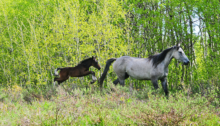 Domestic but not domesticated this mare and foal gallop the Blackfeet Reservation in Montana