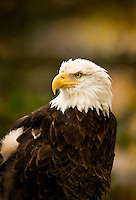 A bald eagle lives in the sanctuary of a  wildlife habitat at Grandfather Mountain in the North Carolina mountains (Blue Ridge Parkway area). Wounded eagles found injured in the wild are nursed back to health and, if possible, are released back into the wild. Those who are permanently unable to survive in the wild remain under the care of a licensed caretaker at the park. Grandfather Mountain is a scenic travel attraction and one of the world's most environmentally diverse nature preserves. At Grandfather Mountain's wildlife habitats, visitors get an up-close perspective of black bears and other animals as they live in the wild. Grandfather Mountain is about a two-hour drive from Charlotte, NC.