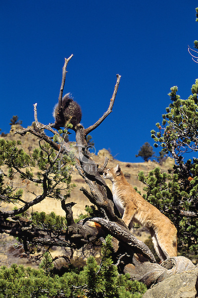 Mountain Lion or cougar (Puma concolor) attempting to prey on porcupine, Western U.S.