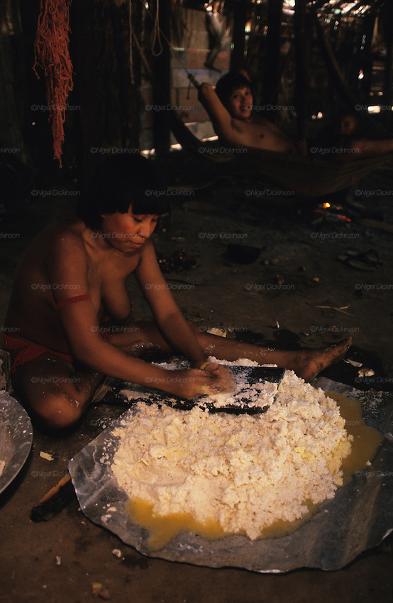 YANOMAMI INDIANS. South America, Brazil, Amazon. Woman making yam flour inside Molaca or Shabono traditional dwelling. Yanomami indians, a primitive tribe, living in the tropical rainforest, in communal traditional molaca dwellings. They are huntergatherers passing on their traditions and skills  from generation to generation. They are the guardians of their forest and its fragile ecosystem. Their lifestyle and their lands diminish every year in the face of encroaching deforestation, forest fires, campesinos who slash and burn primary rainforest, from cattle ranching, commercial plantations, gold and diamond mines.