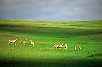 Herd of pronghorn on grassy plains at Oglala National Grasslands, Sioux County, Nebraska, AGPix_0675.