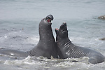 San Simeon, California; Northern Elephant Seal (Mirounga angustirostris) sub-adult males sparring in the shallow water just off the beach, play fighting during their molting season in late June