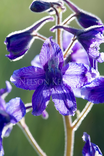 Larkspur wildflower blossom close up