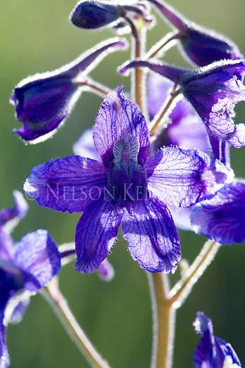 Larkspur wildflower blossom close up