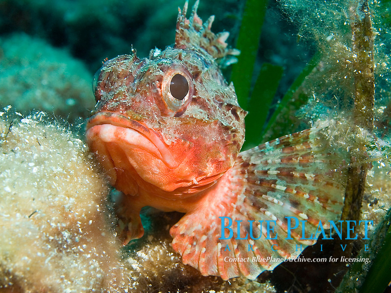 Dwarf scorpionfish, Scorpaena loppei, Croatia, Mediterranean Sea
