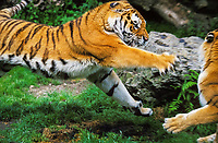 Siberian tiger, Amur tiger, Panthera tigris altaica, male and female, endangered species