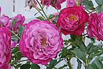 OUTTA THE BLUE ROSE, ROSA HYBRID, FLORIBUNDA