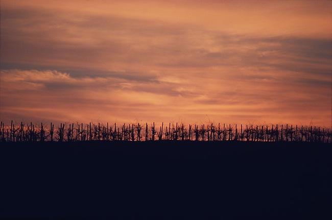 Carneros sunset behind old head-pruned vineyard