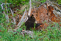 "Wild Black Bear (Ursus americanus) cub.  Western U.S., spring. (This is what is known as a ""coy""--cub of the year.)  Playing/investigating old tree stump--will be covered by wood chips before it is done--see photos #F7A4986, 4996, 4998 and 5002."