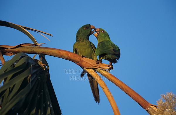 Green Parakeet, Aratinga holochlora,pair on palm tree, Brownsville, Rio Grande Valley, Texas, USA