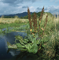Height to 1.5m. Similar to Water Dock but more slender and less branched. Associated with waterside vegetation but restricted to Loch Lomond. FLOWERS are borne in tall, dense spikes (Jul-Sep). FRUITS are triangular and lack tubercles. LEAVES are long and triangular, with a broad base. STATUS- Found only along E shores of Loch Lomond.