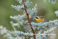 01490-00316 Common Yellowthroat (Geothlypis trichas) male in Blue Atlas Cedar Marion Co. IL