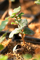 Young plants in the nursery that have been seeded with truffles spores and that will be planted and produce truffles. Young holly holm-oak plants, detail of acorn Truffiere de la Bergerie (Truffière) truffles farm Ste Foy de Longas Dordogne France