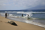 an endangered Hawaiian Monk Seal sleeps on the beach in front of the Kaanapali Alii on Ka'anapali Beach, Lahaina, Hawaii
