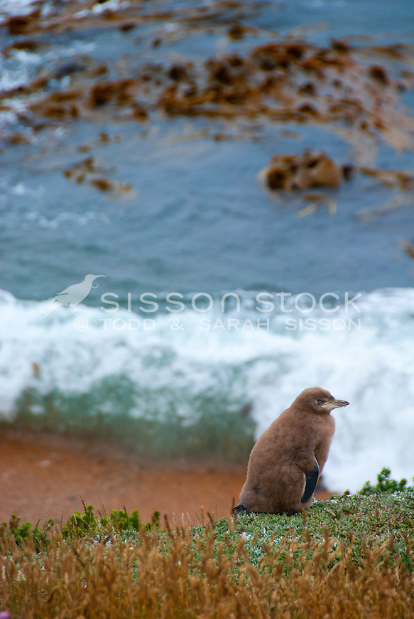 A juvenile Yellow Eyed Penguin still covered in brown down, waits for it's mother on a cliff at Moeraki, South Island, New Zealand