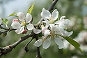 "Blossom of Apple 'Worcester Pearmain', early May. A late 19th century English dessert apple from St Johns near Worcester. ""Remains widely popular garden apple. Its bright fruits and distinctive blossom - almond opening to silvery white - led to its decorative use in shrubbery in 1890s."" ('The New Book of Apples' by Joan Morgan and Alison Richards)"