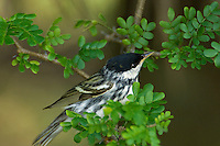 591510006 a wild male blackpoll warbler setophaga striata - was dendroica striata - in breeding plumage perches in a mesquite bush on south padre island texas united states