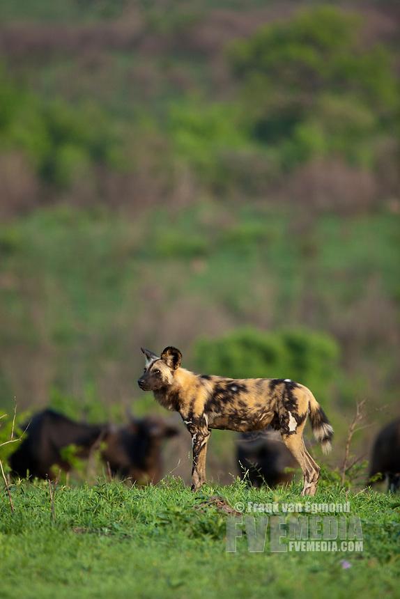 African Wild Dog (Lycaon pictus)...Endangered species..Buffalo herd in the background...Hluhluwe Imfolozi Game Reserve..Kwazulu-Natal, South Africa..November 2010.