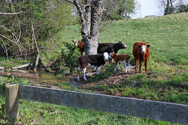 Cows in the field, Loudoun County Virginia