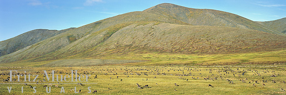 Porcupine caribou herd migration through the Richardson Mountains