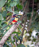 Probably the most beautiful bird we have ever photographed, this Chestnut-eared Aracari (Pteroglossus castanotis) was buzzing through the forest with a couple of its buddies.  It is a type of Toucan, but smaller and louder than the Toco Toucan.  This individual paused just long enough for us to capture this image.  The Pantanal, Brazil.